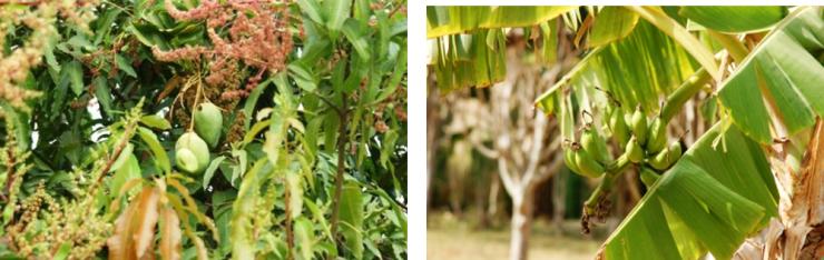 Les manguiers          bananiers