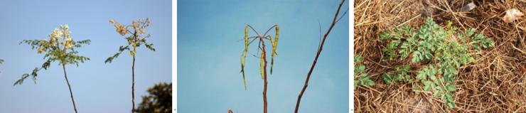Fleur de moringa   Graines de moringa   Plant de moringa