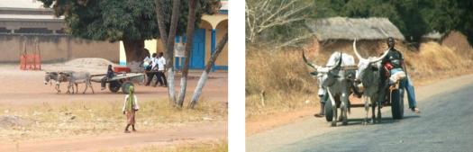 Le moyen de transport usuel au Sud : un attelage d'ânes (avec le joug !) et de bœufs