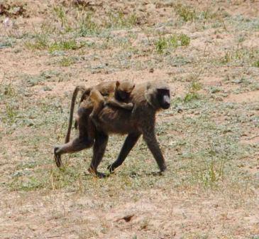 safari_babouins2