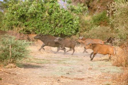 safari_buffle2