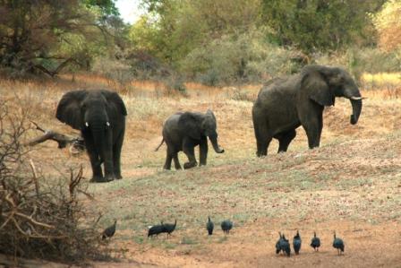 safari_elephant2