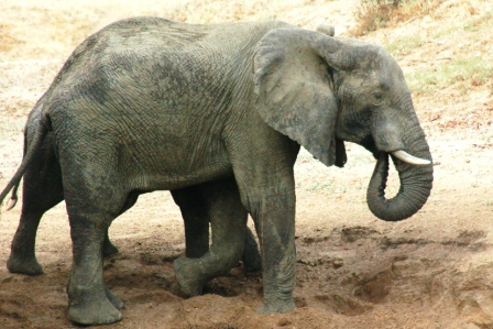 safari_elephant4