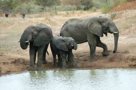 safari_elephant5