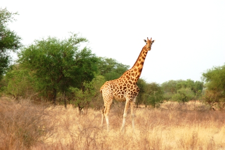 Dame girafe